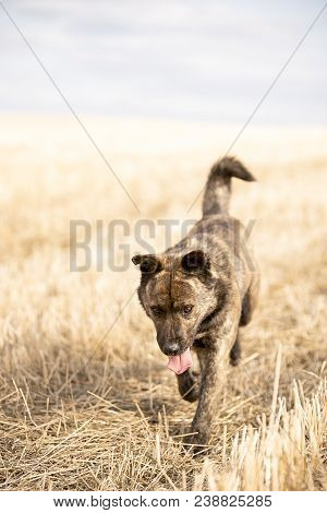 Brown Mongrel With His Tongue Out Is On The Yellow Field