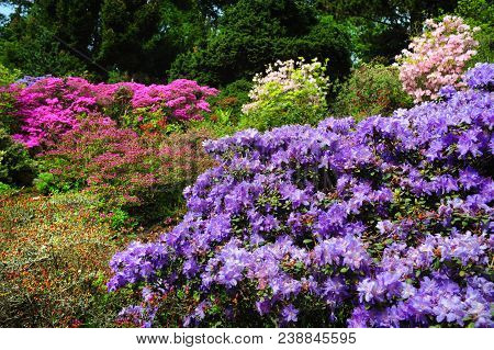 Alpine Garden Decorated With Purple Rhododendron Shrub On Foreground And Blooming Pink Rhododendron