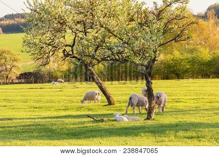 French Landscape - Vosges. A Sheep Pasture With Tree And Little Lambs.