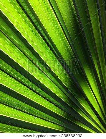 A Closeup Of A Backlit Palm Leaf.