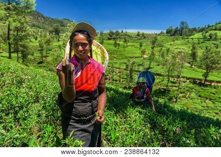 Nuwara Eliya, Sri Lanka - Mar 19: Women From Sri Lanka  Picking Tea Leaf On Tea Plantation On March