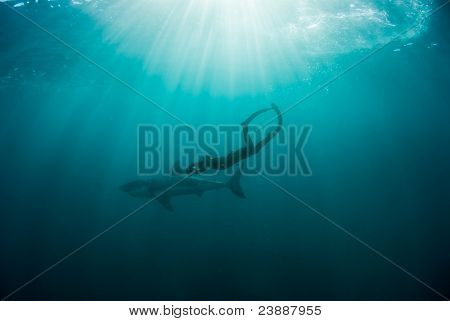 Freediver Filming A Great White Shark