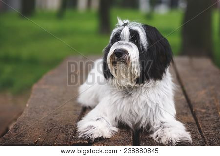 Tibetan Terrier Or Tsang Apso, Dokhi Apso Laying Down On Wooden Planks. Nine Months Old Puppy Portra