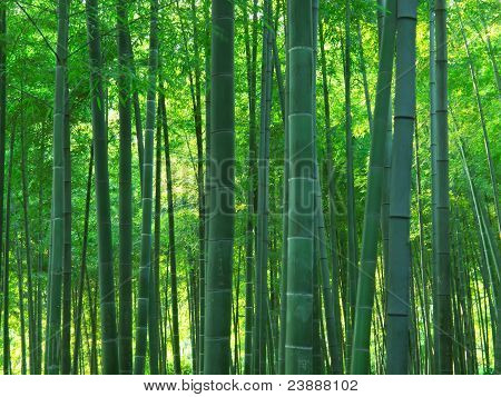 asian bamboo forest