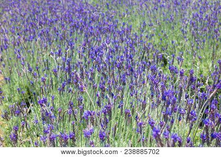 Beautiful Lavender Flower Field. Stock Photo Of Lavender Flowers Field In Sunny Day. Cau Dat Farm, D