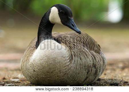 Close-up Of A Beautiful Canada Goose In Spring. View To A Perching Canada Goose (branta Canadensis)