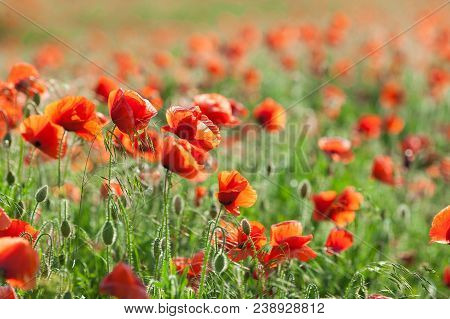 Poppy Farming, Nature, Spring, Fresh Red Field, Agriculture Concept - Industrial Farming Of Poppy Fl
