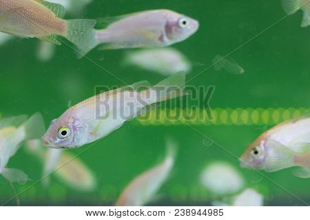 Fish Spa Aquarium With Fishes. Doctor Fish In Glass Fish Tank. South Asia Pedicure Procedure. Natura