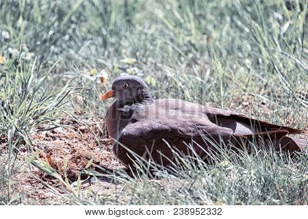 Common Wood Pigeon Basking In The Sun (columba Palumbus)