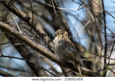 Female House Sparrow Sits On A Bare Branch (passer Domesticus)