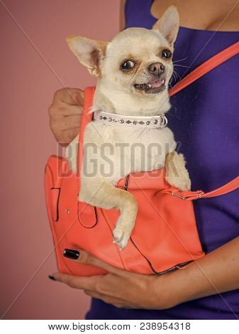 Puppy Face With Happy Smile On Violet Background. Chihuahua Dog Smiling In Orange Bag. Protection, A