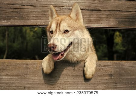 Husky Or Wolf At Wooden Background, Copy Space. Year Of Dog, Holiday Celebration. Pet And Animal, Si