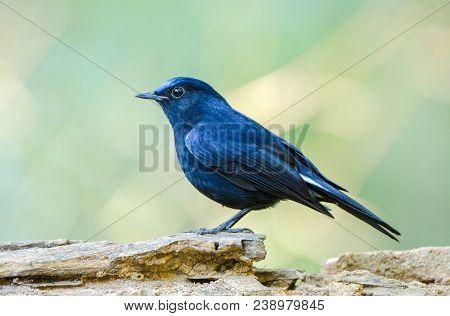 Male Of White-tailed Robin (cinclidium Leucurum) Beautiful Dark Blue Bird With Bright Head Perching