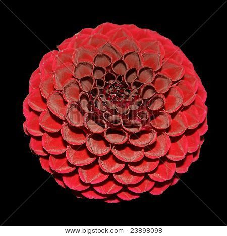 Dahlia red on black background