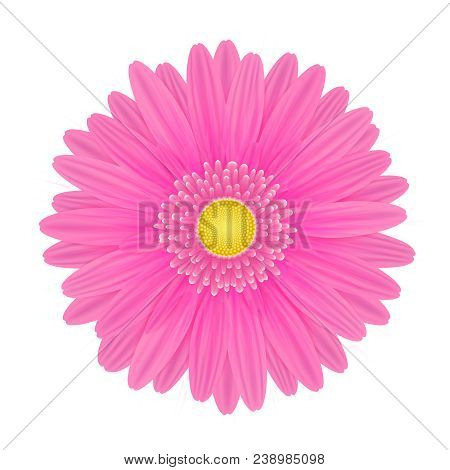 Vector Realistic Image Of A Pink Gerbera Flower. Gerbera With Pink Petals And Yellow Center. Picture