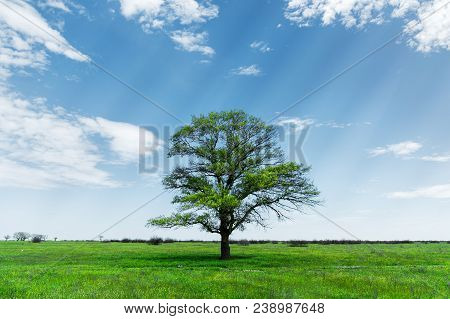 Spring Landscape Lonely Green Oak Tree On A Green Field Of Lush Grass Against A Blue Sky Background
