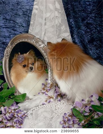 Pomeranian dog looking into mirror
