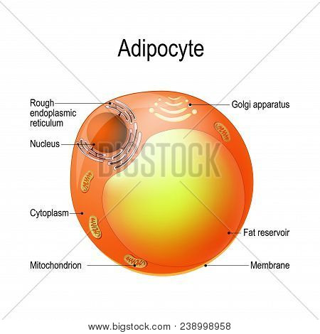 Adipocyte. Structure Of A Lipocyte. Fat Cell Is Responsible For Accumulation Energy,  Obesity, Weigh