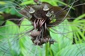 rare plant Bat wing flower in bloom poster