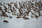 A flock of Canada Geese (Branta canadensis) on the surface of a partially frozen pond. poster