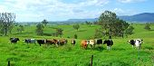 Dairy cows in field, with mountain range in background, Australia poster