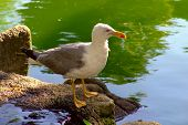 seagull bird standing near a lake looking ahead poster