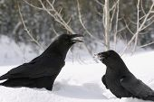 Two ravens talking to each other in the snow. poster
