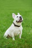 one french bulldog dog lying on green grass at autumn background poster