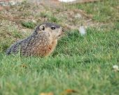 Ground hog peeking out of his burrow. poster