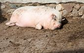 Fat pig lying on the ground and smiles poster