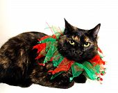 A calico cat dressed for Christmas and isolated on white. poster
