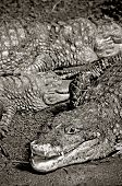 some alligator lying under the sun in black and white poster