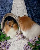 Tan and white little pomeranian dog looking at reflection in mirror poster