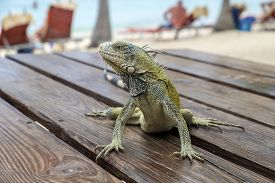 Green Iguana Sitting On A Picnic Table On Blue Bay Beach In Curacao, Caribbean