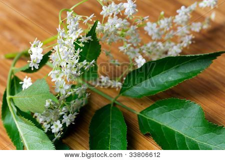 elder flower on the branch , close up shot