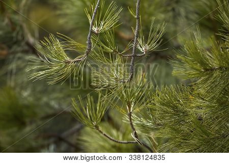 A Close Up Of Some Pine Tree Boughs From A Pine Tree In North Idaho.