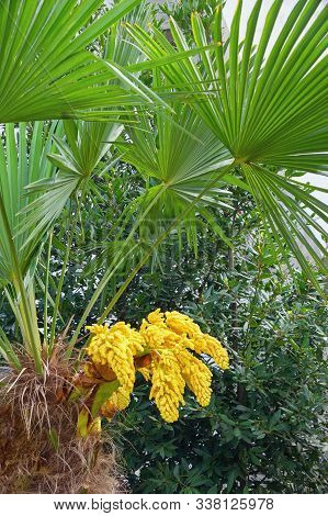 European fan palm tree ( Chamaerops humilis ), leaves and flowers. Montenegro poster