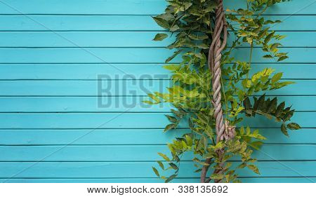 Blue Aquamarine Wooden Background With Ivy Tree - Painted Old Wood Facade With Climbing Green Ivy Pl