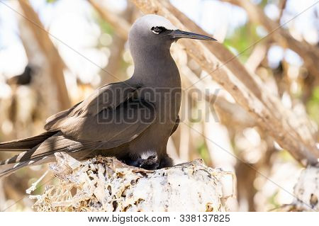 White Capped Noddy Member Of Tern Family On Nest With Chick  On Lady Elliot Island, Great Barrier Re