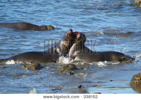 Male Elephant Seals Fighting 19