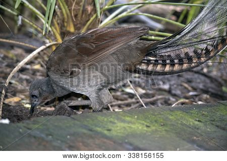 This Is A Close Up Of A Lyre Bird Looking For Food