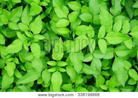 Fresh Green Leaves Pattern Background, Natural Background And Wallpaper