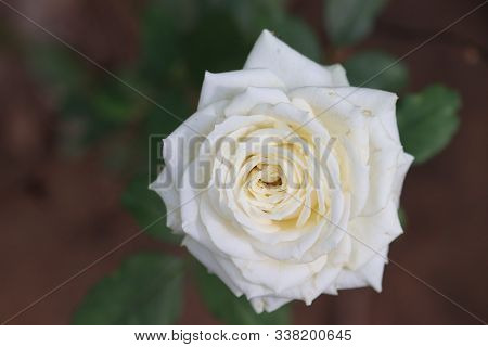 Beautiful White Rose Flower.rose Background.white Rose With Green Leaves