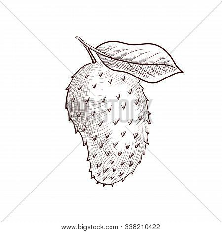 Vector Drawing Soursop, Guyabano, Fruit Of Annona Muricata, Hand Drawn Illustration