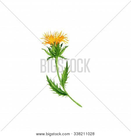 Watercolor Drawing Safflower Plant, Hand Drawn Illustration