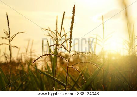 Maize Corn Green Field Summer Time At Sunset. Agriculture Industrial Background