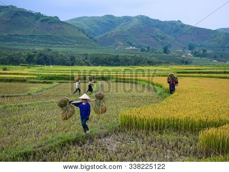 Farmers Harvesting Rice On The Field