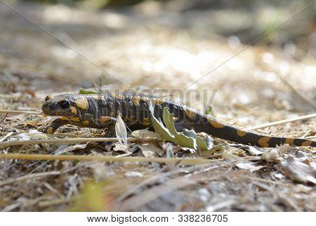 The Poisonous Salamandra ,linnaeus, Werneri , Sochurek, Gayda
