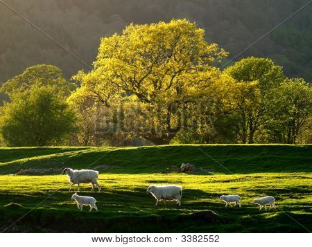 A Family Group Of Sheep In The Conwy Valley