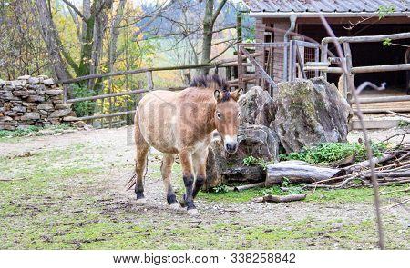 Front View Of A Przewalski Horse, Latin Equus Ferus Przewalskii, Also Called Takhi, Asian Wild Horse